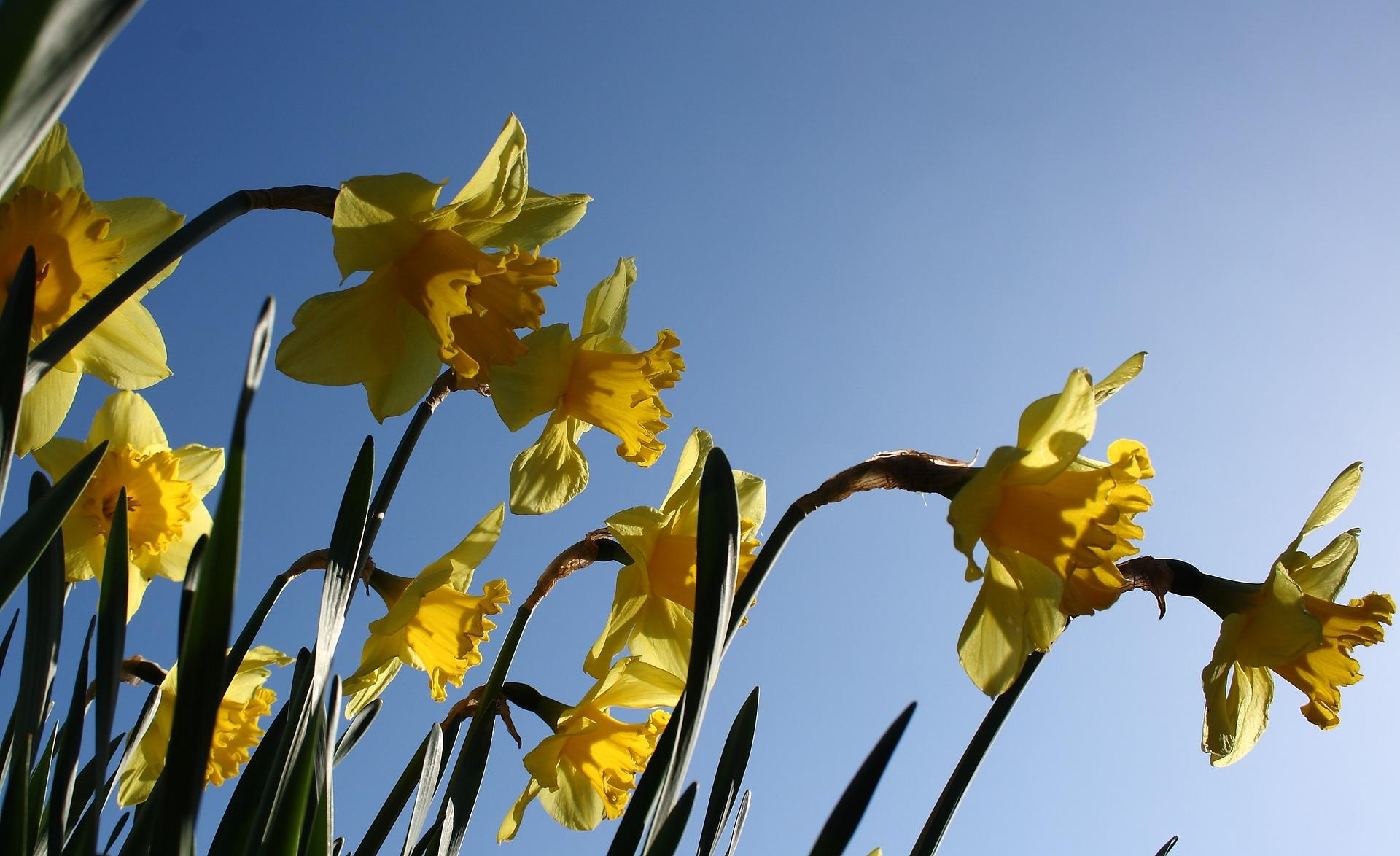 Blog18_Pixaby_daffodil.jpg